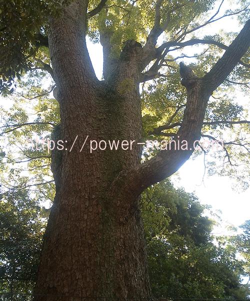 長田神社の御神木の楠木