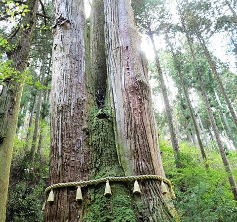 御岩神社の御神木・三本杉