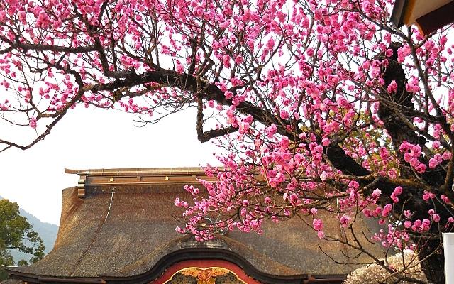 大宰府天満宮の梅の木