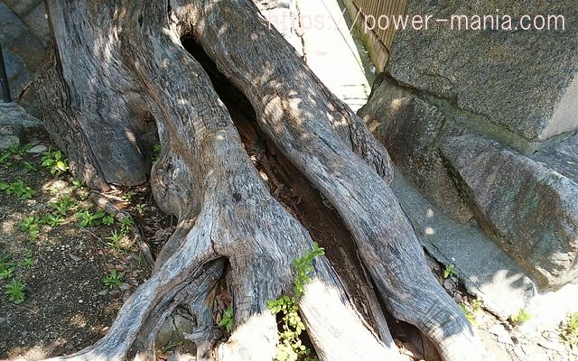 五宮神社の大きな木の根っこ