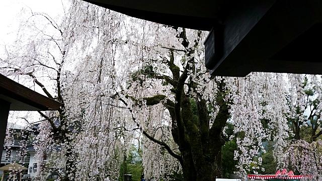 身延山久遠寺のしだれ桜