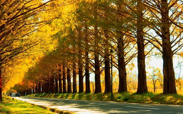 マキノ高原のメタセコイア並木