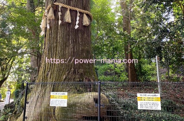 たこ杉の根